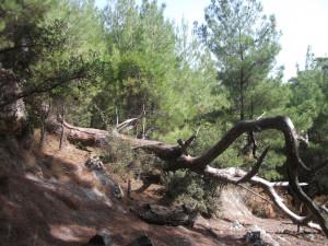 Belen Kuru Ağaç