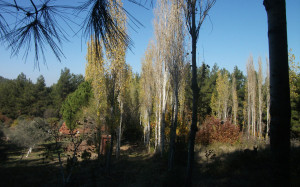 Zembil Sonbahar Ovacık, Kavaklar1